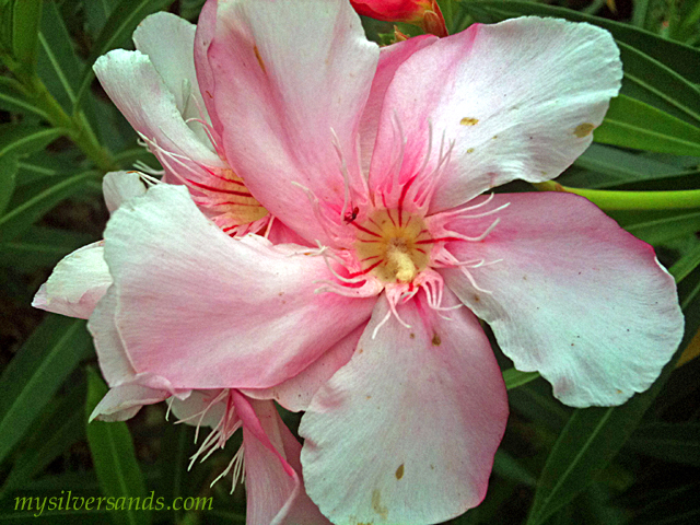 The Oleander Pretty But Poisonous