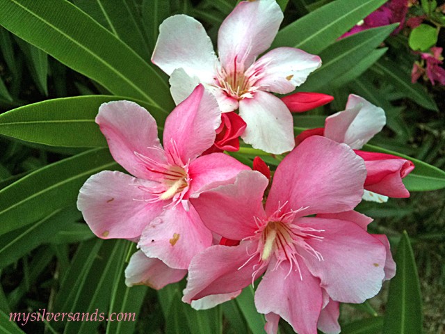 bunch of oleander blossoms