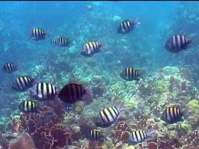 sergeant majors tropical fish on the reef