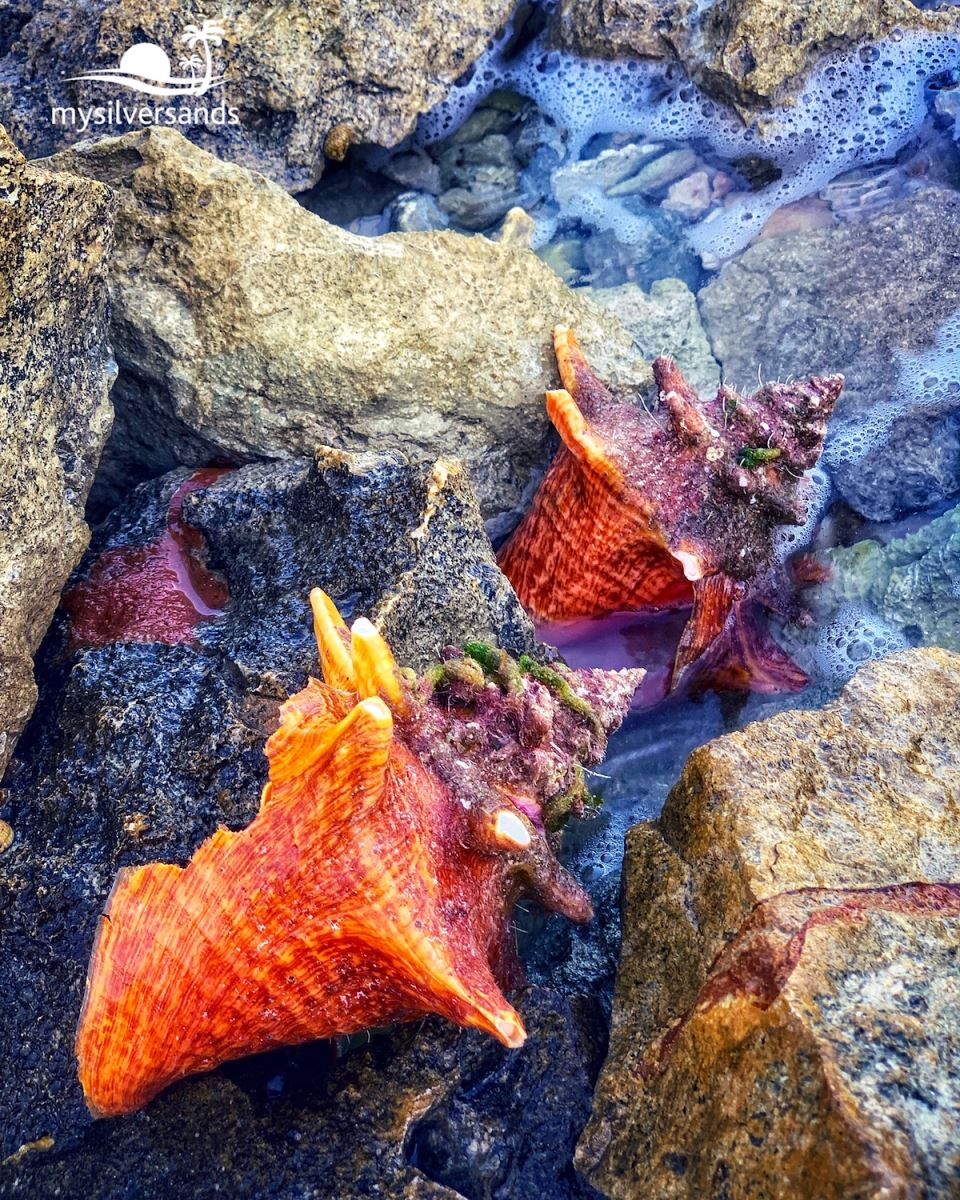 broken conch shells
