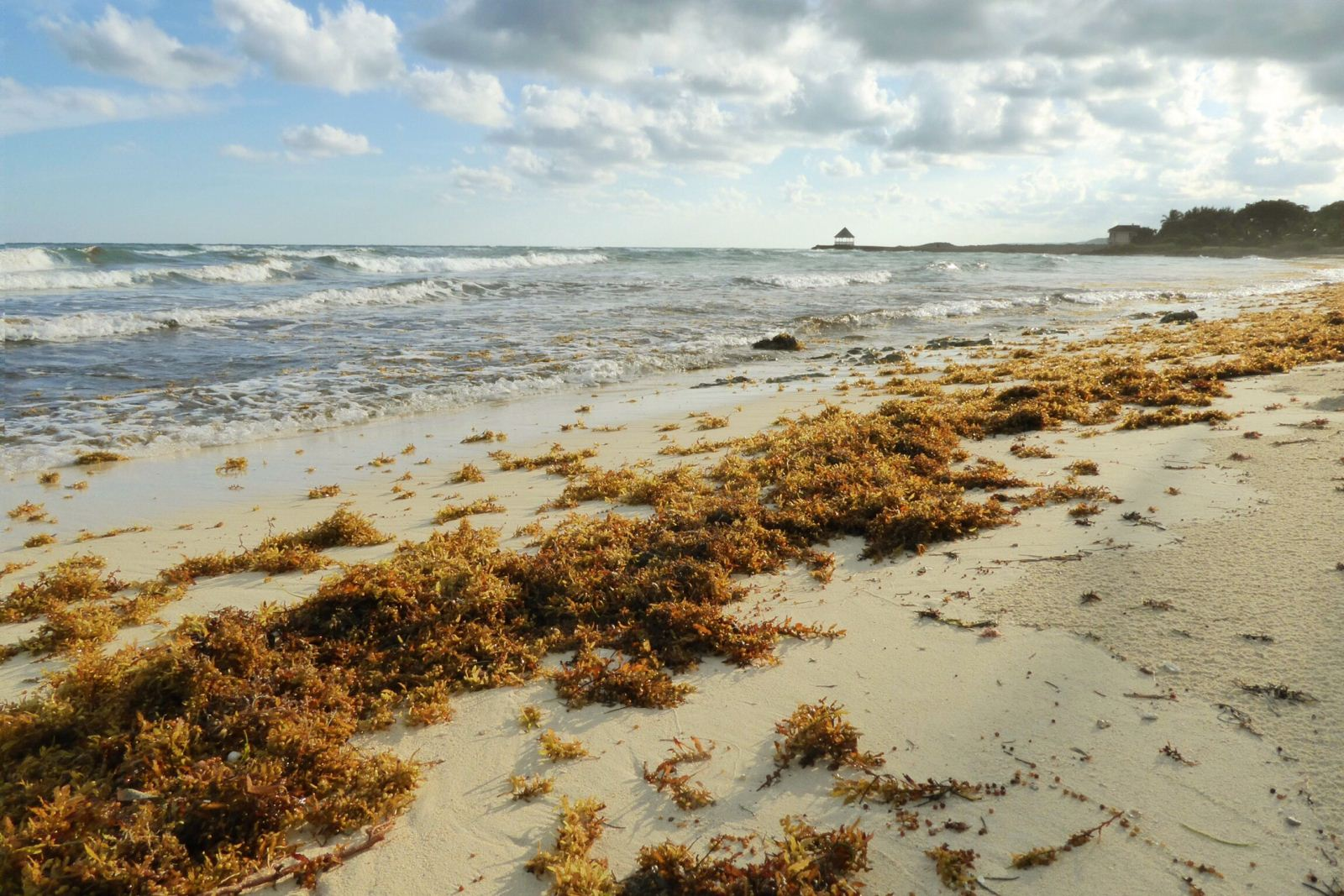 sargassum washed up on the beach at silver sands jamaica
