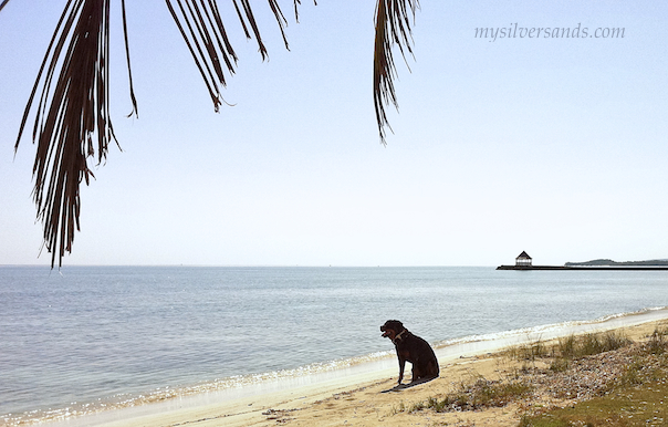 boscoe, a rottweiler,sitting on beach at silver sands jamaica