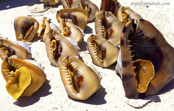 conch on sand -these shells will be cleaned up to sell to visitors to silver sands villas