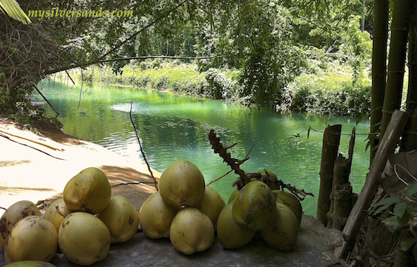 jelly coconuts for sale on the bank of the martha brae river in jamaica