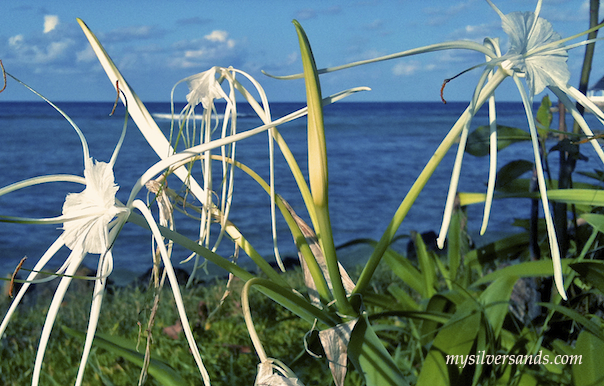 wild white flowers on silver sands beach jamaica